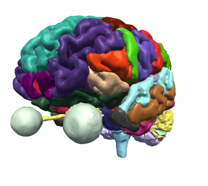 Splnac Brain Atlas The Open Anatomy Project
